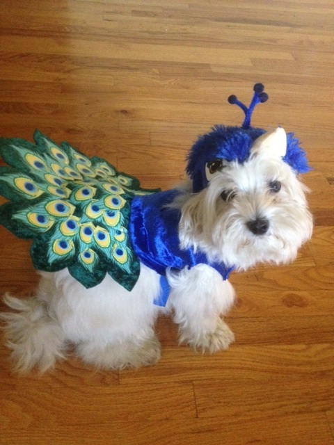 Animal Planet Pet Parade and Costumes